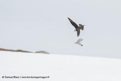Labbe parasite / Arctic skua
