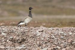 Bernache cravant / Brent goose