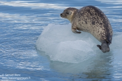 Phoque annelé / Ringed seal