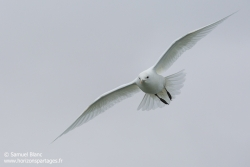 Mouette ivoire / Ivory gull