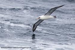Albatros de Laysan / Laysan Albatross