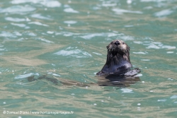 Loutre de mer / Sea Otter