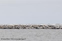 Phoque largha / Largha Seal