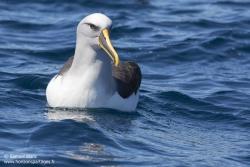 Albatros de Buller