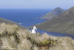 Albatros royal du Sud à l'île Campbell