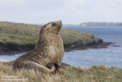 Lion de mer de Nouvelle-Zélande