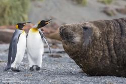 Eléphant de mer austral et manchots royaux
