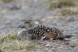 Eider à duvet femelle / Eider Duck female
