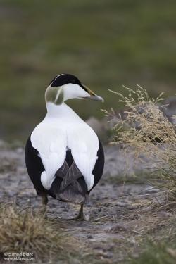 Eider à duvet mâle / Eider Duck male