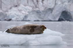 Phoque barbu / Bearded Seal