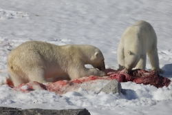 Ours polaires mangeant un phoque barbu / Polar Bears eating a Bearded Seal