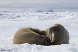 Morses / Walrus