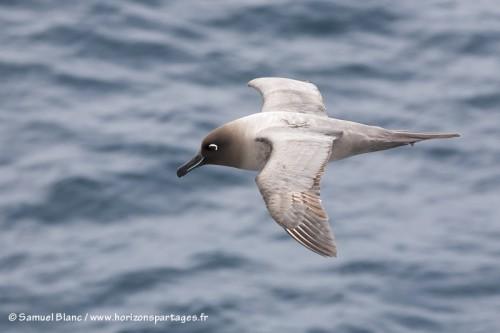 Albatros fuligineux à dos clair