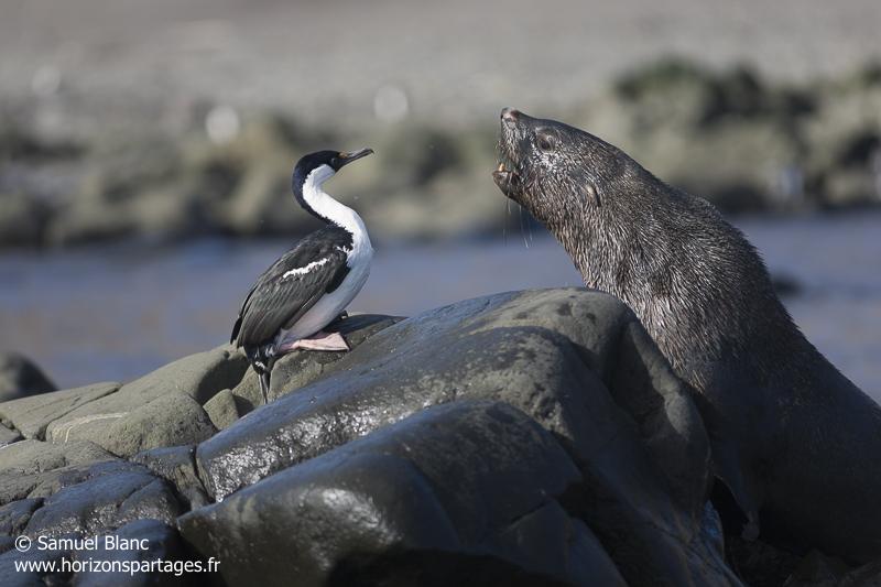 Cormoran antarctique et otarie à fourrure antarctique