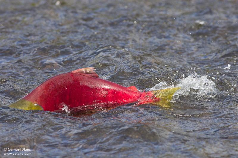 Saumon rouge ou sockeye au Canada