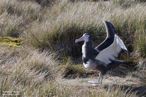 Poussin d'albatros hurleur