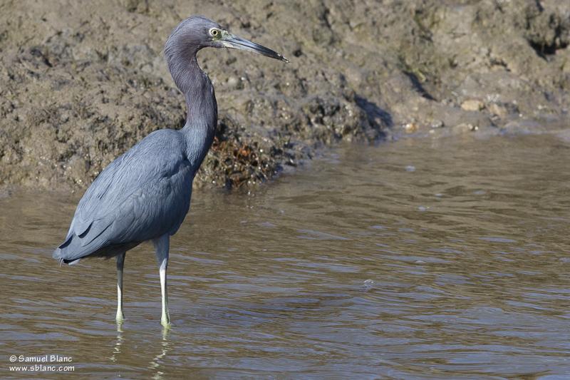 Aigrette bleue / Blue Heron