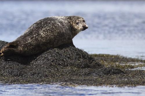 Phoque gris / Grey Seal