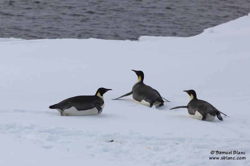 Manchots empereurs sur de la glace dérivante