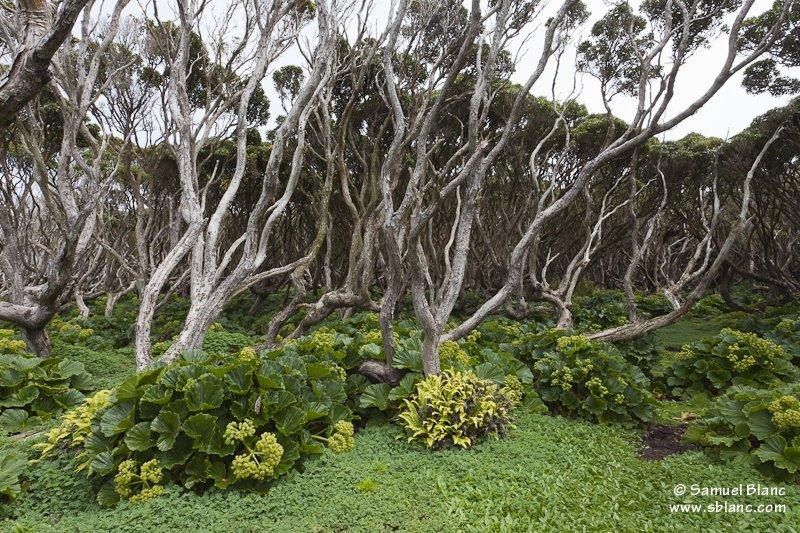 Forêt rata aux îles Auckland