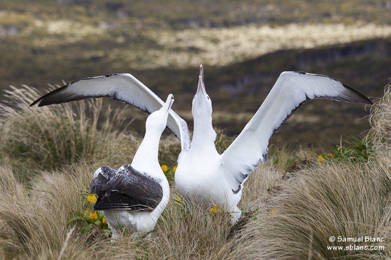 Couple d'albatros royaux du Sud