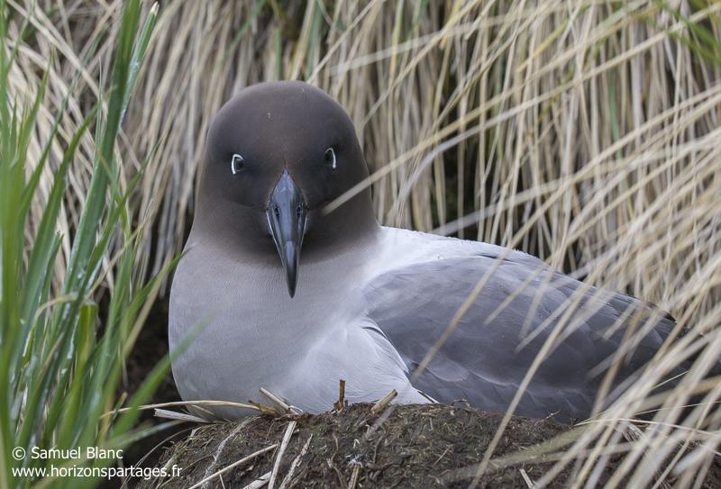 Albatros fuligineux sur son nid en Géorgie du Sud