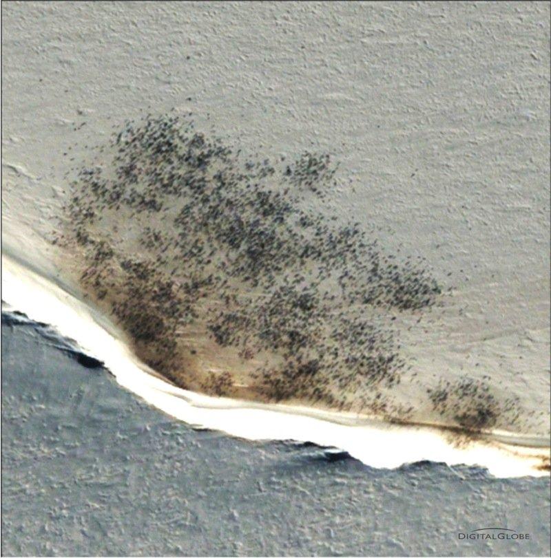 Colonie près de la baie de Halley en mer de Weddell