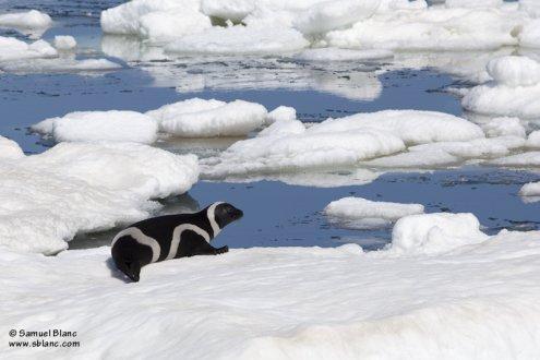 Phoque rubané sur de la banquise en mer d'Okhotsk
