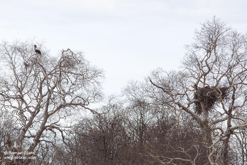 Pygargue de Steller et son nid