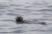 Loutre de mer en Russie