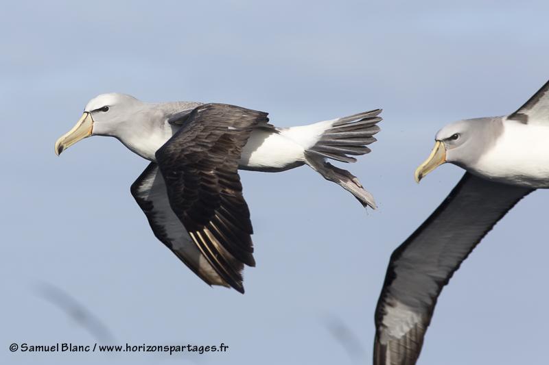 Albatros de Salvin aux îles Bounty