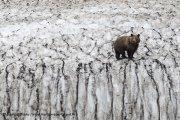 L'ours brun funambule de la mer d'Okhotsk