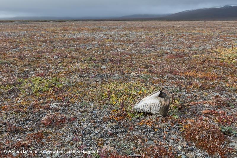 Dent de mammouth sur l'île Wrangel