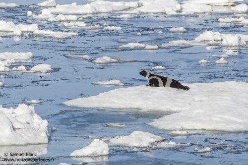 Phoque à rubans en mer d'Okhotsk