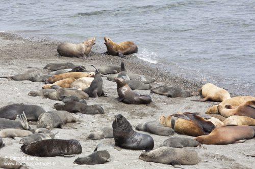 Lions de mer de Steller et otaries à fourrure du Nord en mer d'Okhotsk