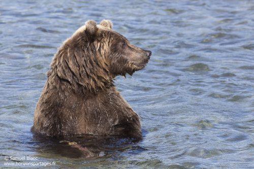 Ours brun au Kamtchatka