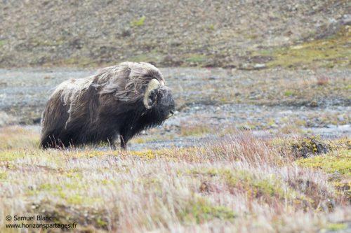Boeuf musqué sur l'île Wrangel en Tchoukotka
