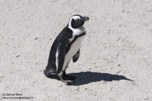 Manchot du Cap en Afrique du Sud