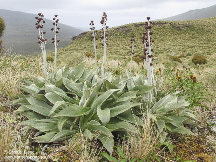 Pleurophyllum hookeri