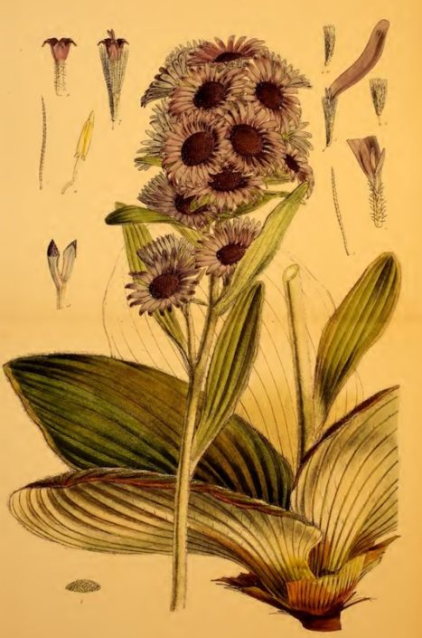 Pleurophyllum speciosum © Walter Hood Fitch