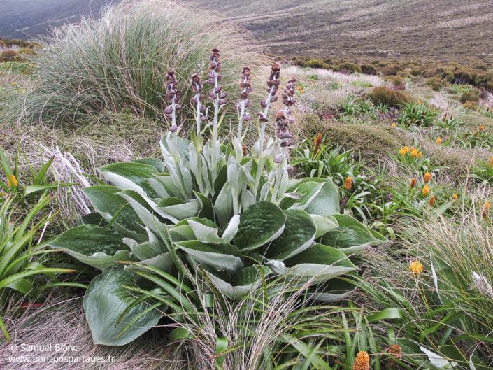 Pleurophyllum criniferum