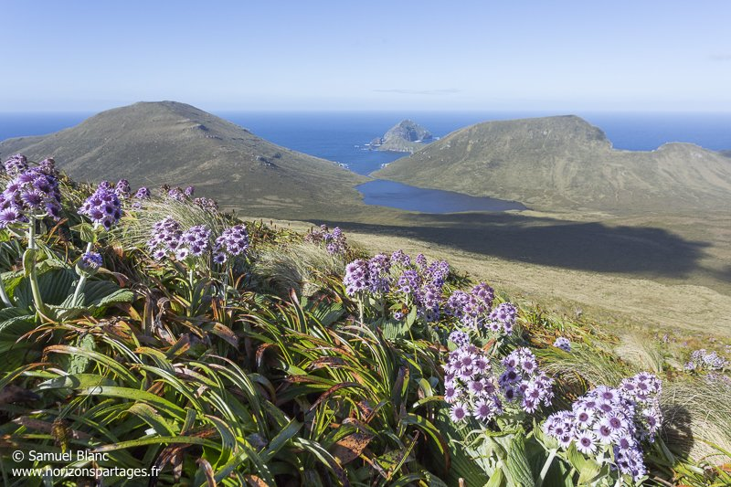 Pleurophyllum speciosum à l'île Campbell