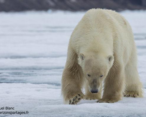 Ours polaire mâle sur la banquise au Spitzberg
