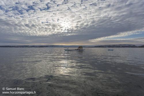 Ours polaire sur la glace au Spitzberg