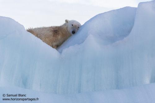 Ours polaire dormant sur un iceberg au Spitzberg