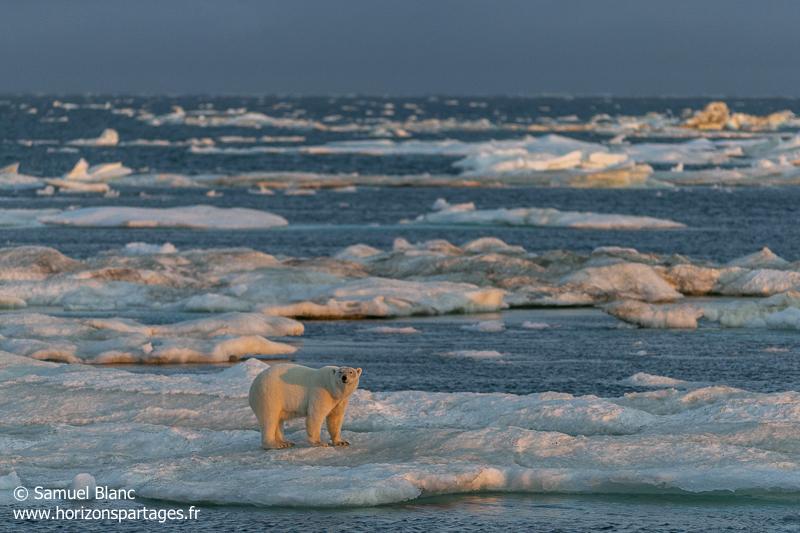 Ours polaire sur la banquise à l'île Wrangel en Russie
