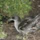 Puffin à bec grêle sur l'île de Wedge en Tasmanie