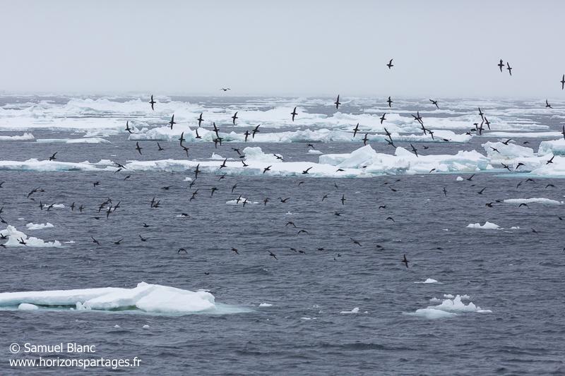 Puffins à bec grêle en mer de Ross