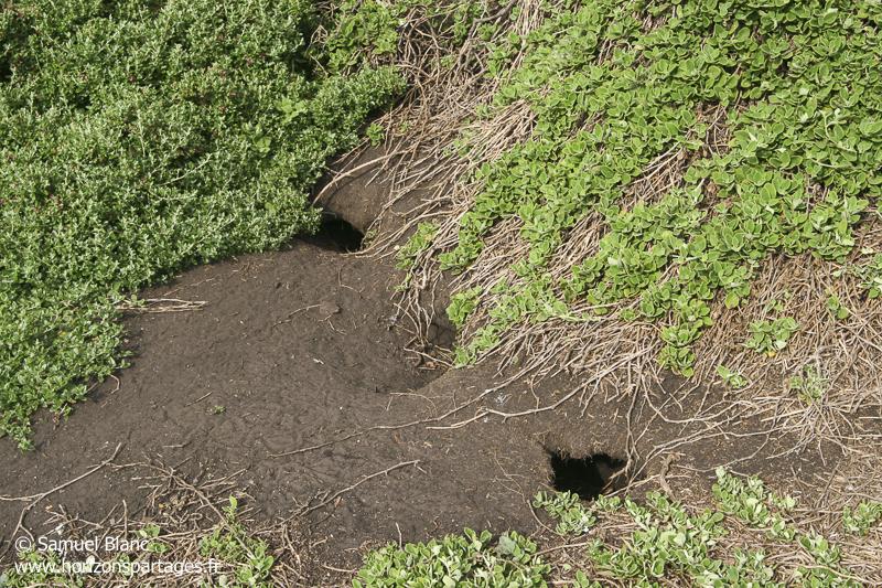 Terriers de puffin à bec grêle sur l'île de Wedge en Tasmanie © Samuel Blanc