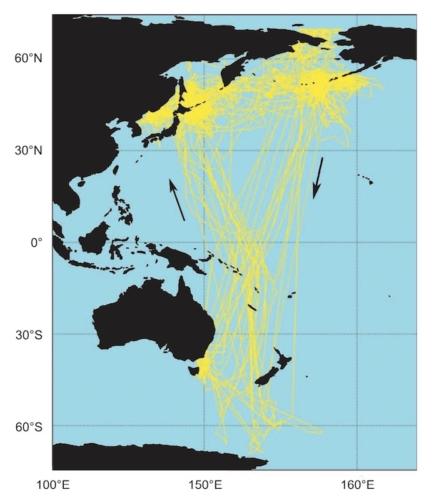 Carte des trajets de migration du puffin à bec grêle